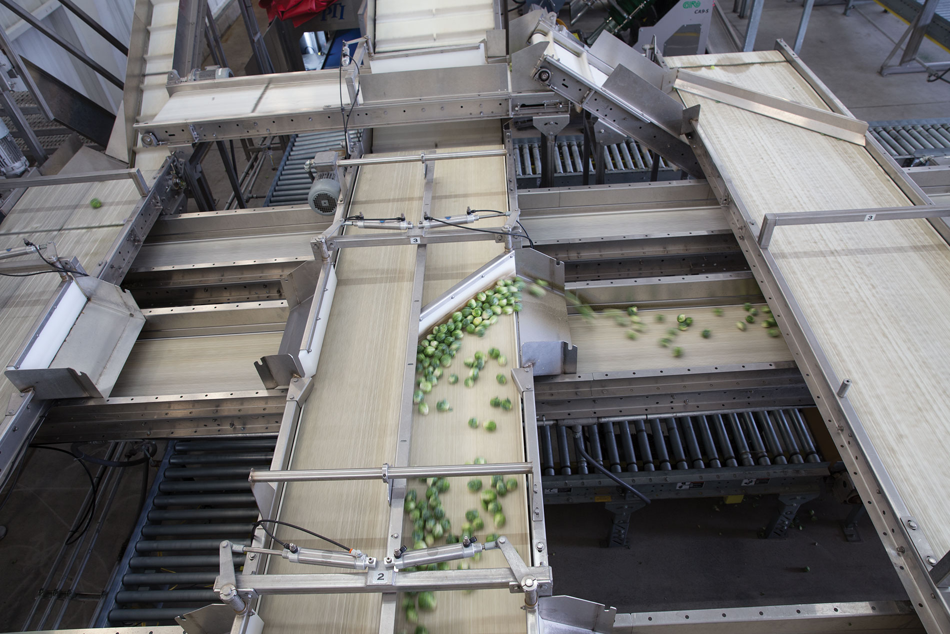 Bonipak's Brussels sprouts sortation system employs sizing belts that transfer the product to appropriate boxing locations.