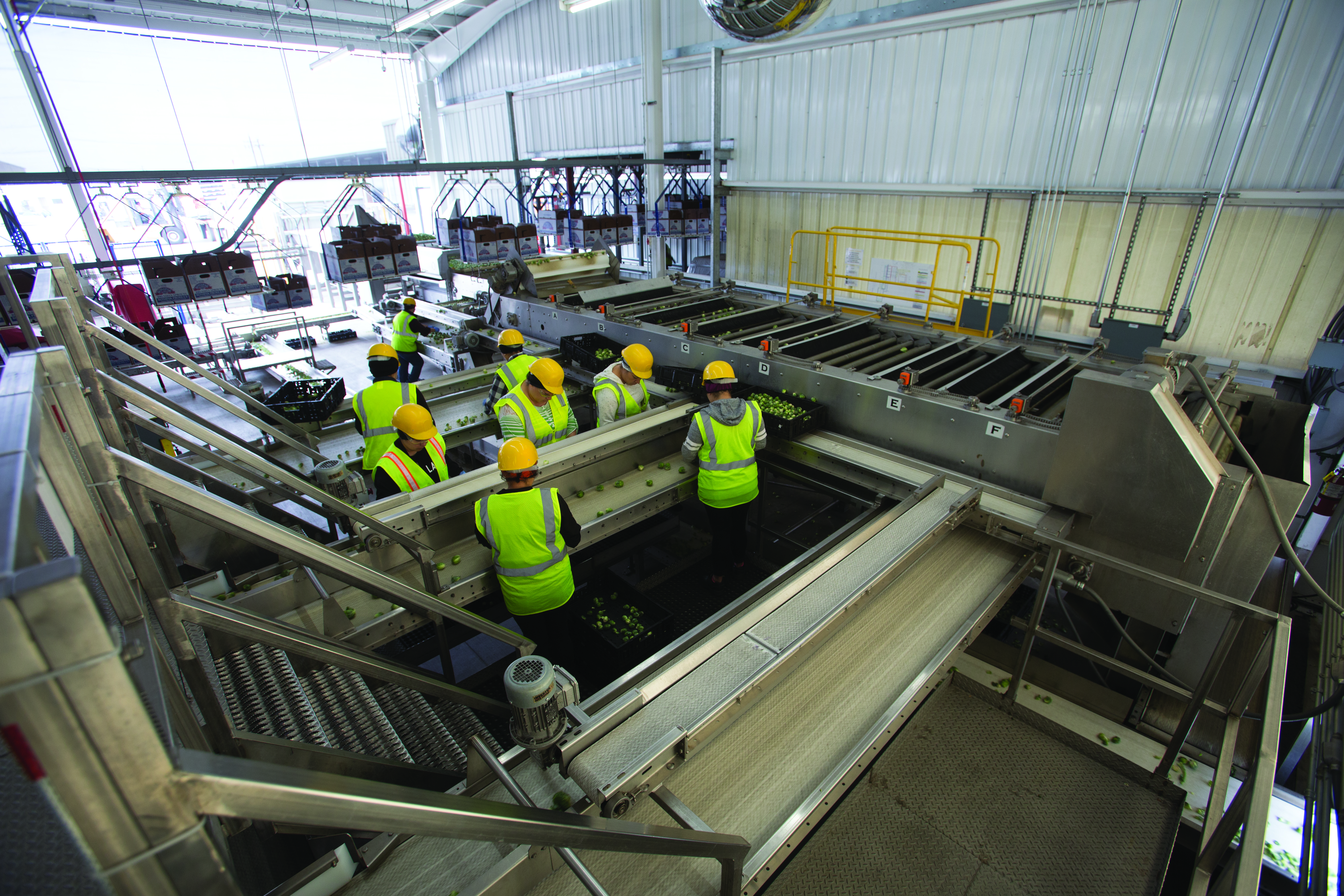 Workers conduct a final inspection after the sprouts pass through the drop-roll sizer.