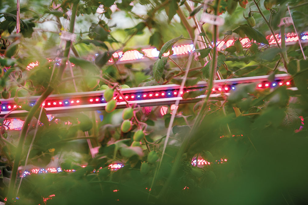 Horticultural LED lighting helps increase growth of crops such as micro and baby greens, herbs and lettuce.