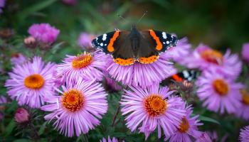 Red admiral butterfly rests on a bunch of purple aster flowers
