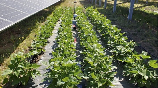 Rows of solar panels with crops growing in between | Oregon State University