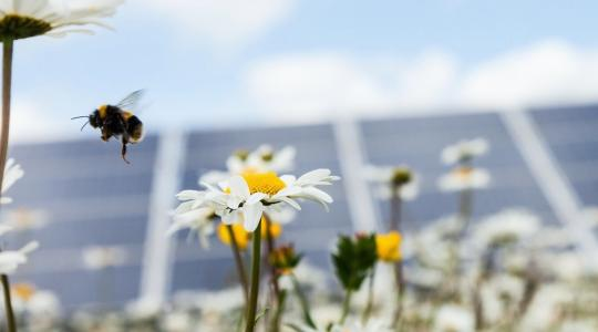 Bees, daisy's and solar panels.
