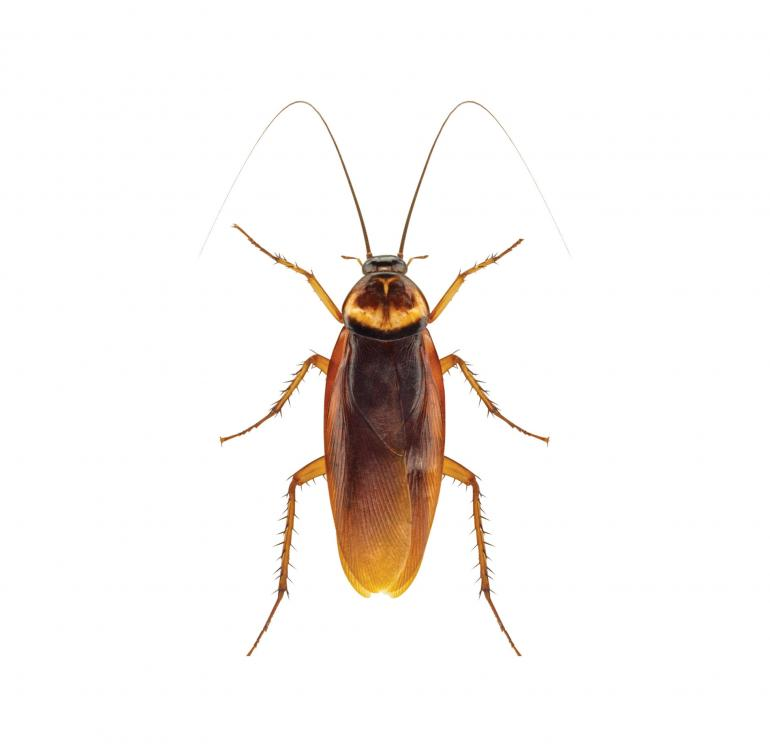 shutterstock/peter waters/natrot. A brown cockroach.